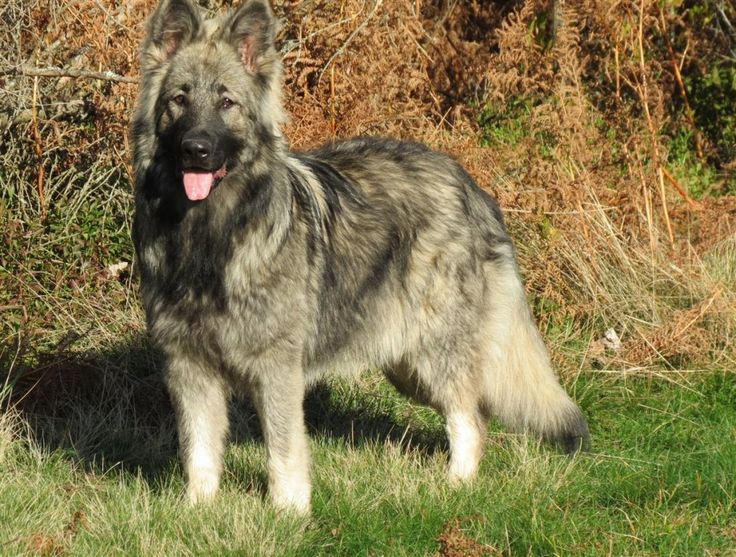 Alys | Altdeutsche Schaferhunde - Berger Allemand poil long