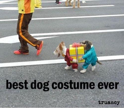 One dog dressed as two dogs carrying a present!