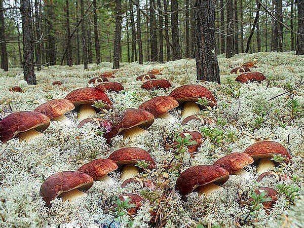 """Готовится грибная """"рассада"""" - просто. Берётся шляпка уже перезревшего гриба (белый или подберезовик). Перемалывается на обычной ручной мясорубке. Кладётся в…"""