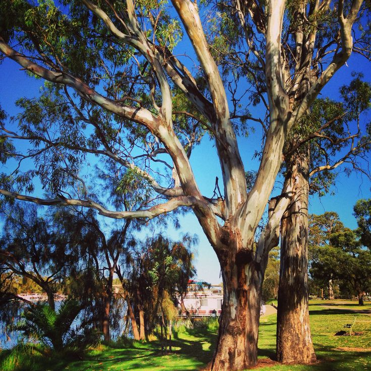 Mildura Australia -trees on the bank of the Murray River