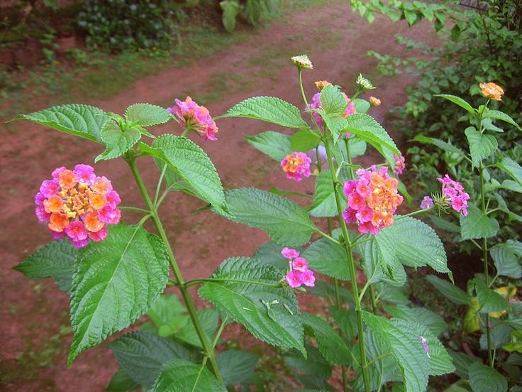 Facts about the Lantana Flower. Definitely want to grow this in our garden!  Love them everywhere/whenever I see them growing and blooming!