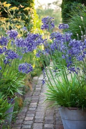 Agapanthus  (African Lily) - Apparently usually left alone by the deer. Mulch to protect in winter. Roots like restricted growth so suits a container.