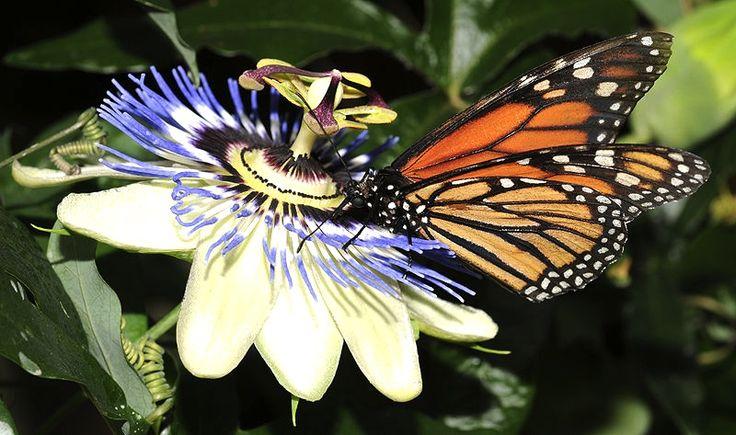 Una mariposa sobre la bella la Pasionaria, enredadera nativa de Sudamérica: Argentina, Uruguay, Brasil y Perú