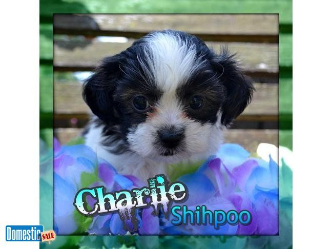 Charlie Male Shihpoo Hi I M Charlie A Really Cute Shihpoo The Shihpoo Is A Cross Between A Shih Tzu And A Toy Shih Poo North Canton Ohio Shih Tzu