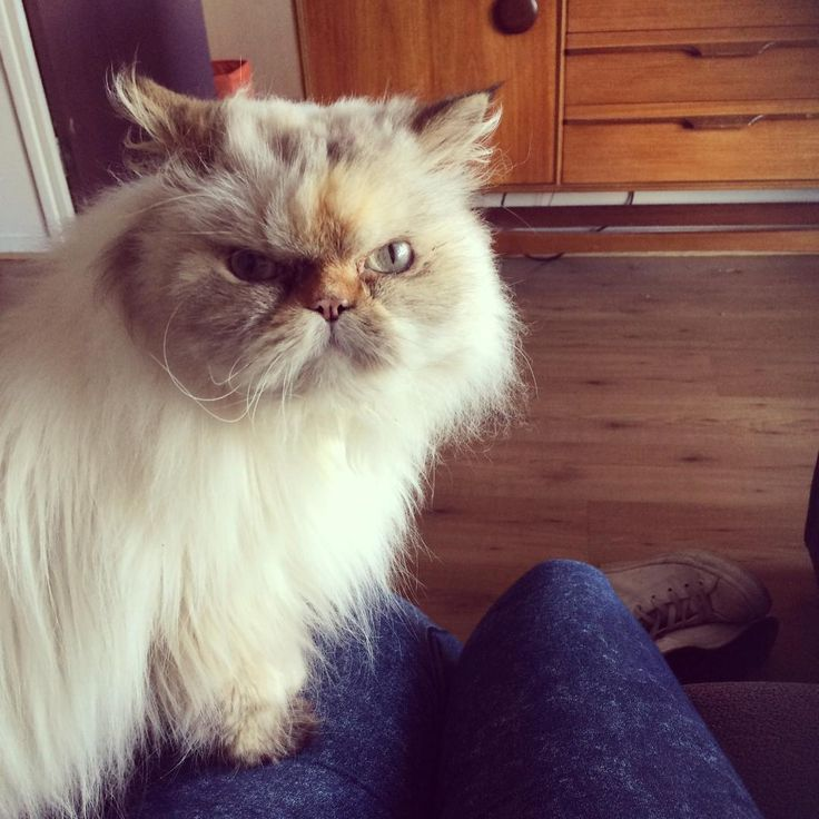 Babushka - Rescue And Rehoming Persian And Other Pedigree Cats