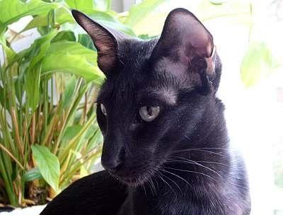 Oriental Shorthair-Karakteri: Zeki, meraklı, Siyam kedisinden daha uysal, dolaşmaktan hoşlanan, oldukça dost ve sezgileri kuvvetli Bakım: Bakımı oldukça kolay, haftada bir kez taranmalı/fırçalanmalı. Rengi: 300'ün üzerinde renk ve şekil görülebilir. Popüler olan renkler baskın; duman rengi; gölgeli; iki renkli; kesit renkli; gri ve kahverengi çizgili Tüy Şekli: Kısa Çıkış Yeri: Büyük Britanya/A.B.D Vücut Yapısı: Orta