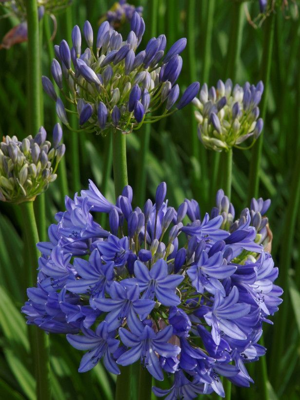 Midknight Blue® Agapanthus/ Lily of the Nile (Agapanthus x 'Monmid') Zones 6–10. If you've grown agapanthus before, you may have been frustrated getting these lovely South African natives to flower consistently or to overwinter successfully. Midknight Blue® establishes itself well, it has a nice deep green fleshy leaf, and the flower color is striking — it's the deepest blue of any agapanthus.""
