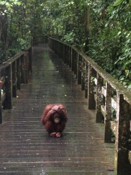 Orangutang doesn't like the rain