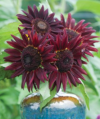 Sunflower, Chianti Hybrid - amazing deep red sunflower. Looks great at back of border and makes a great cutting flower.