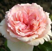 Роза Кордес Сувенир де Баден-Баден (Souvenir de Baden-Baden)