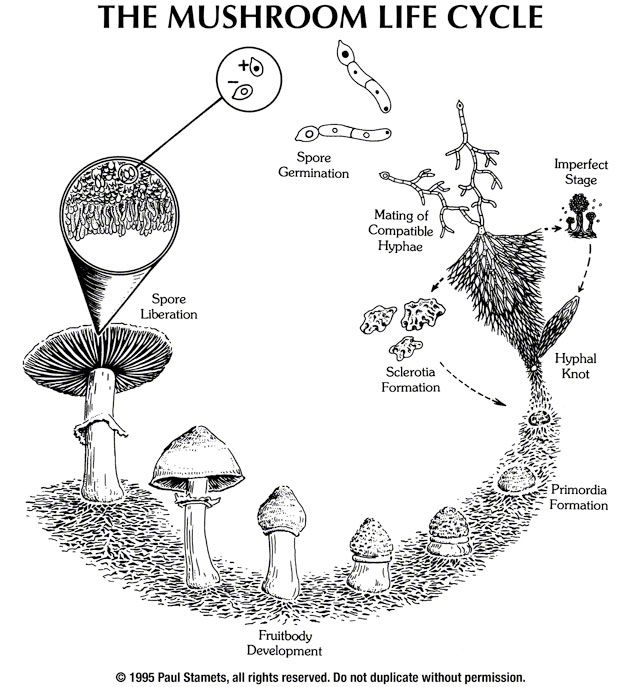 a pictorial overview of the mushroom life cycle
