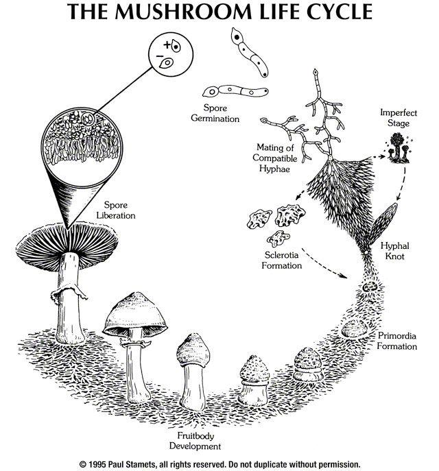 diagram of a mushroom