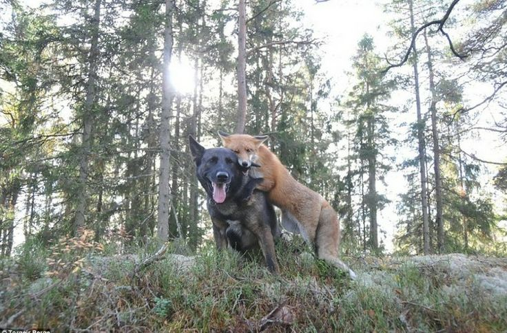 fox became friends with dogs 1: Animals, Dogs, Best Friends, Real Life, Hound, Friendship, Animal Friends, Foxes, Photo