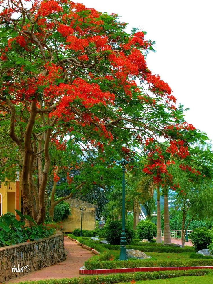 Phoenix red flowers on the Border...The picture was taken at the park gates Thượng Temple Lao Cai...VIETNAM