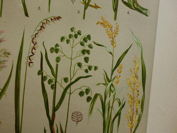 Old botanical print about grass grasses  by DecorativePrints