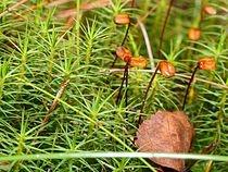 Polytrichum ssp björnmossor