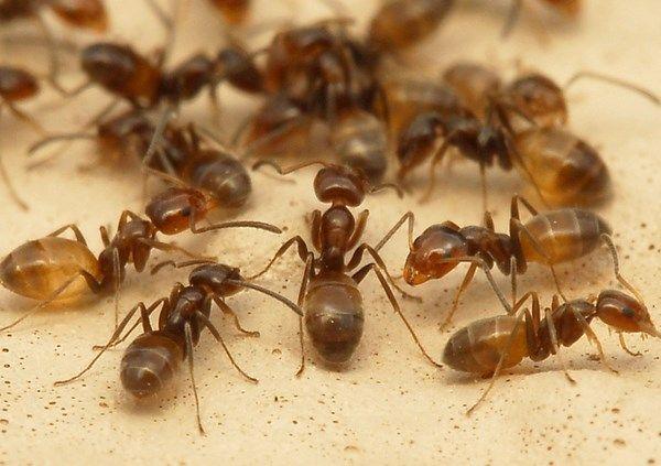 Wie Man Ameisen In Der Kuche Loswird Ungiftige Hausmittel Ameisen Hausmittel Kuche Loswird Ungiftige Ameisen In Der Kuche Ameisen Und Hausmittel