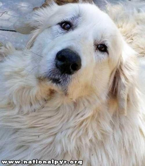 Michelle / coming to CT - Needs Foster! is an adoptable Great Pyrenees Dog in Marion, CT Petfinders CONTACT THIS ORGANIZATION button does NOT work – please visit www.nationalpyr.org  ... ...Read more about me on @petfinder.com