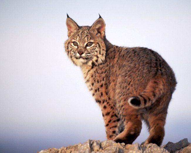 Lynx cat - 27 Photo (2)