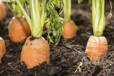 Carrot Plant Life Cycle (with Pictures) | eHow