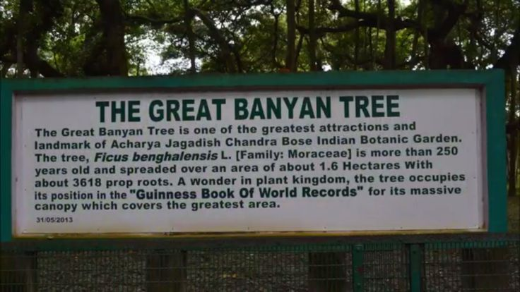 A wonder in the plant kingdom, the Great Banyan Tree (Ficus Benghalensis) of Indian Botanic Garden or the Acharya Jagadish Chandra Bose Botanic Garden at Shibpore in Howrah occupies a position in the Guinness World Records for being the widest tree in the world in terms of the area of canopy.