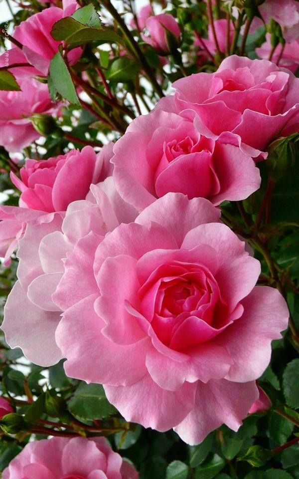It's raining in my little corner of Alaska! But the thought of pink Roses...makes me sing! dorothycrockett.sbc90.com