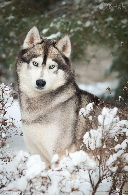 Husky Siberiano ~ é perito em escapar de predadores e tem uma predatória forte. Não é uma ótima escolha para casa com pequenos pets. É um cão que vive em clima frio e com neve. (Siberian Husky)