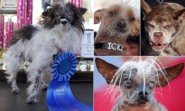 AWWWWWW   First is the worst! Peanut is crowned 'World's Ugliest Dog'