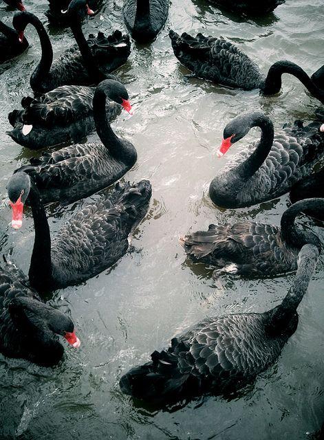 Black Swans by 'plowski, via Flickr