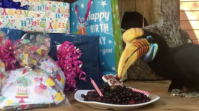 Happy birthday, Blue! Blueberry, our beloved knobbed hornbill, will celebrate her 20th hatchday (that's bird speak for birthday) on Sunday, May 7, 2017. In honor of her special day, zookeepers gave Blueberry some of her favorite treats: blackberries, grapes and, of course, blueberries.  See more at http://blog.zoo.org/2017/05/happy-20th-birthday-to-hornbill.html  #birthdaygirl #animallovers #woodlandparkzoo #hornbills #conservation #blueberries #fruitlover #birthday #featherfriday…