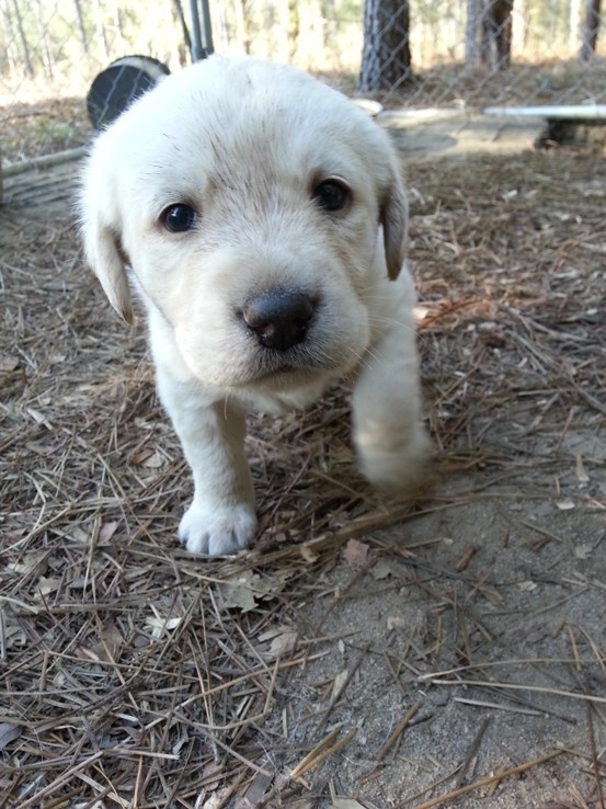 how to train a yellow lab puppy
