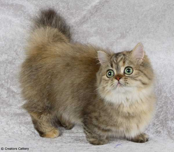 Napoleon Kittens | ... cats) и названа в честь императора