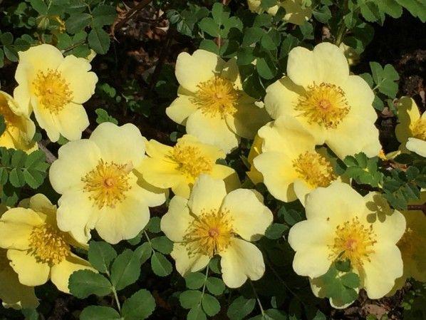 Awesome Rose uCanary Bird u fleur printemps Paris http