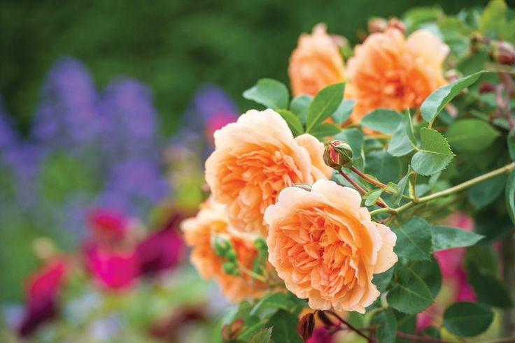 Nuevas rosas inglesas  Nuevas rosas inglesasi  tienes el catálogo impreso o si has pasado por la web del prestigioso rosalista británico David Austin, seguro que ya conoces los tres nuevos cultivares que ha introducido para esta temporada. Tres