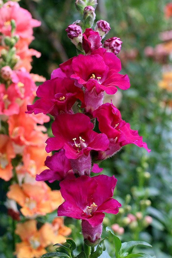 Antirrhinum majus 'Chantilly Purple'