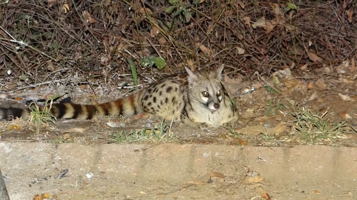 Small spotted genet at our camp site