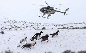 Wild horses are herded into corrals by a helicopter during a Bureau of Land Management roundup outside Milford, Utah