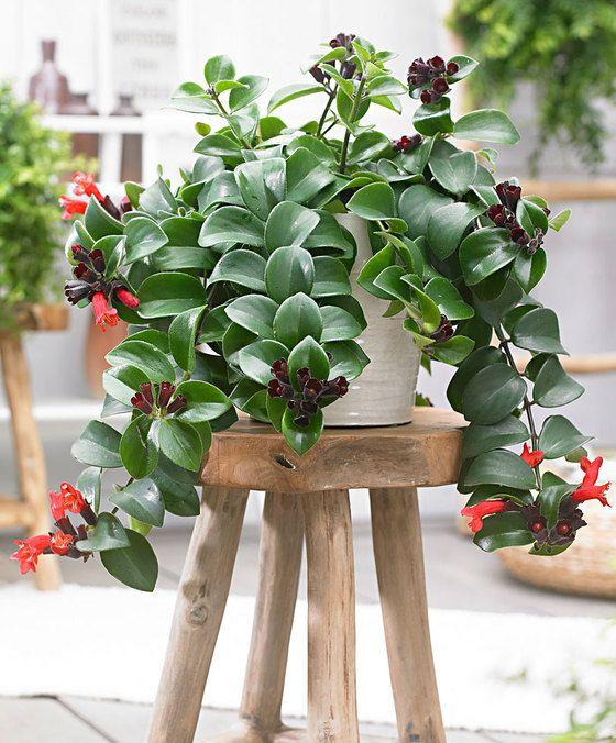 Aeschynanthus pulcher ~ Lipstick Hanging Plant  'Mona Lisa'