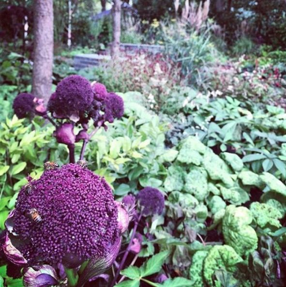#TBT to @ianbarkergardens 2015 @mifgs1 garden, we loved your Angelica's @antique_perennials and so did the bees 🐝🐝🐝 #melbourne #garden #bees #2015 #mifgs