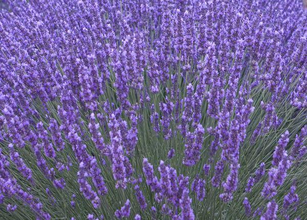 Buy lavender Lavandula angustifolia 'Munstead': Delivery by Crocus