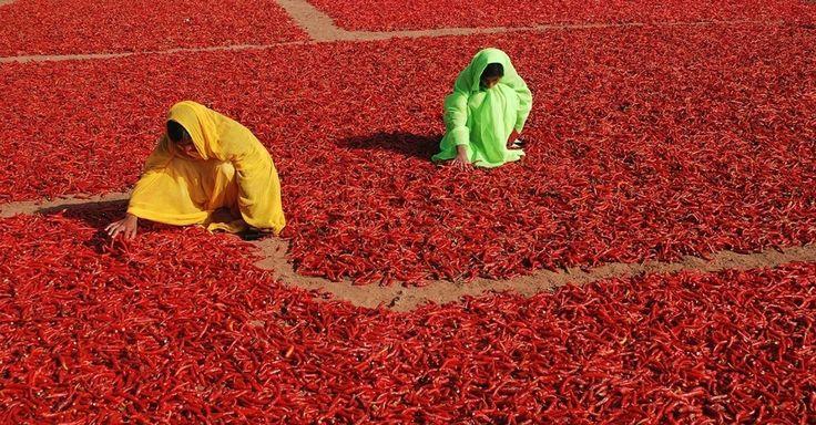 Mulheres viram as pimentas que estão secando em Jodhpur, na Índia. As pimentas vermelhas são colhidas e espalhadas para secar, então podem ser moídas até virar o pó que dá um toque especial a vários pratos indianos