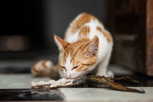 Can I Feed My Cat Tuna?