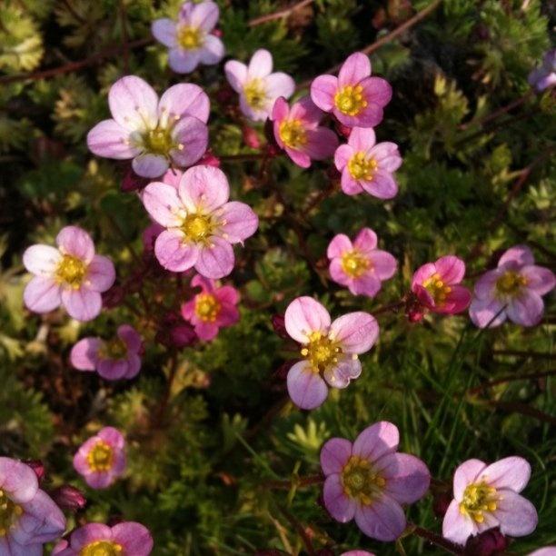 roze in de tuin