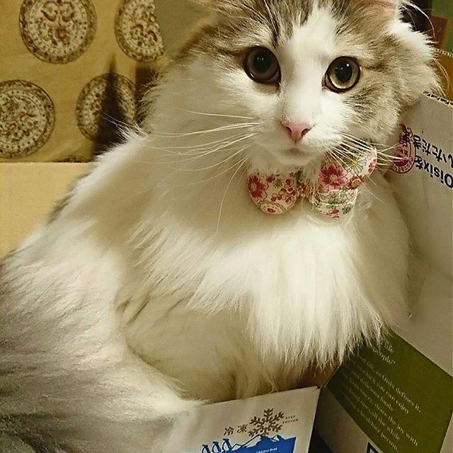 やっぱりあたち.... 狭いほうが好きにゃの💓 * * i love paper box. * #髭祭 #箱入り娘  #猫のいる暮らし #picneko#ぺピ友#pecon #ふわもこ部 #美猫#愛猫 #美にゃん#姫猫 #美意識高めサークル #美しい猫#可愛い猫 #ねこ部#みんねこ #ニャンスタグラム #にゃんだふるらいふ #ノルウェージャンフォレストキャット#norwegianforestcat #にゃんとかめら #らぶにゃんるうむ #関西にゃんこ組 #小さな猫が大きな癒しにニャる #ウェブキャットショー #ウェブキャットショー2 #fluffycats #fluffy_n_adorable #meowdel #ilovecats