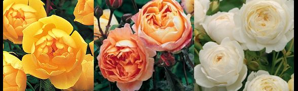rosa-ibrida-muschiata