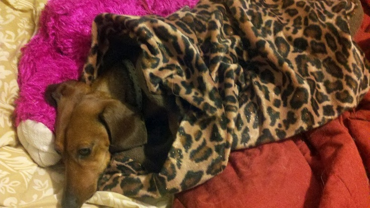 1000 Images About Snuggle Sacks For Dogs On Pinterest