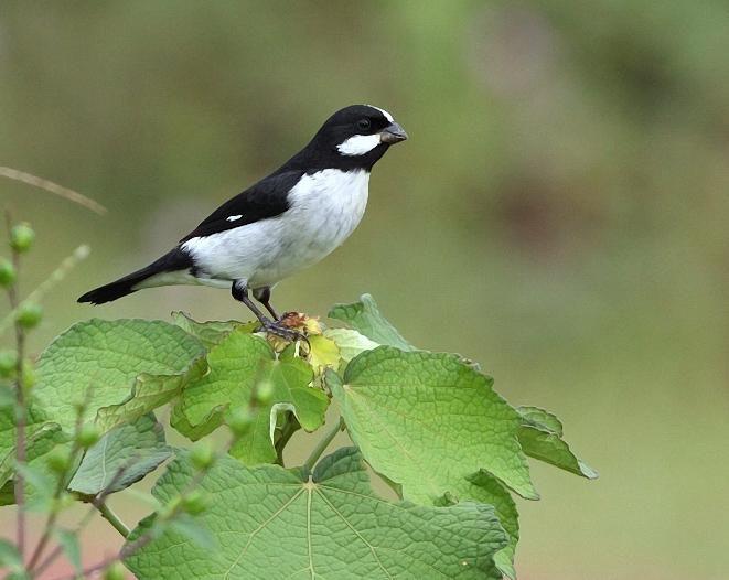bigodinho_sporophila lineola  Brazilian Birds