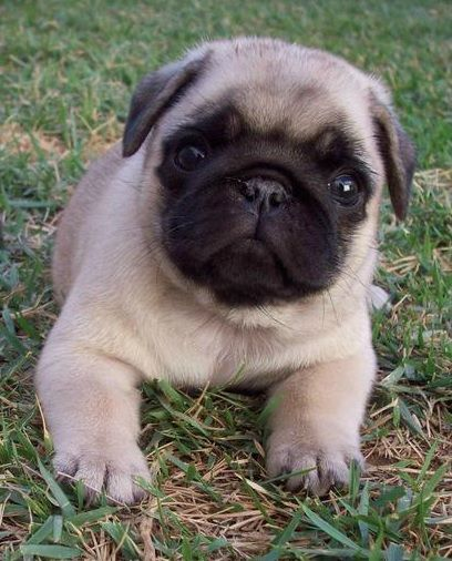 Just another cute Pug puppy