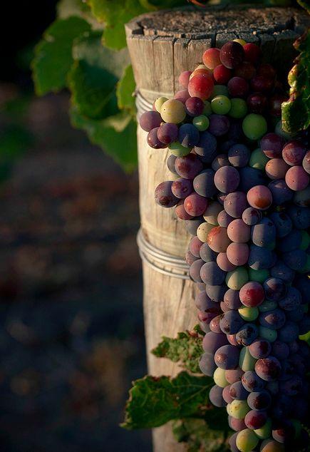 fruit: grape harvest hanging on pole (via FollowTheWestWind.tumblr 31240748631)