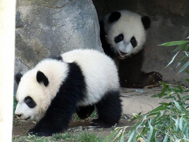 Mei Lun & Mei Huan, 3/20/14 by saulesmeit, via Flickr
